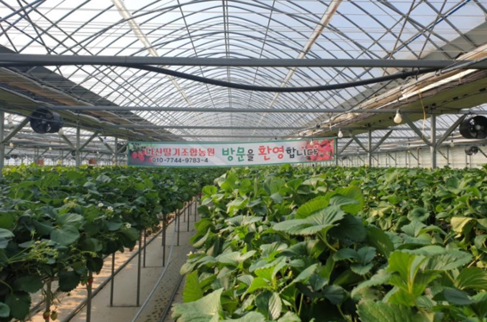 다산딸기조합농원, 딸기체험장 개장