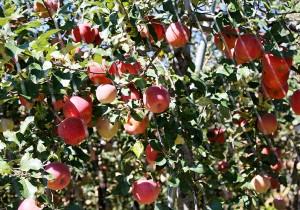 꿀먹은 가을사과